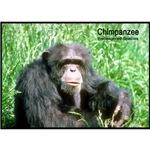 Chimpanzee Chimp Photo