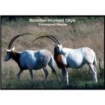 Scimitar Horned Oryx Photo