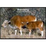 Banteng Wild Cattle Photo