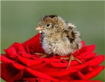 Quail On A Rose