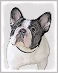French Bulldog - Multiple Illustrations