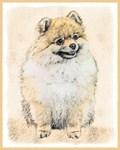 Pomeranian (Orange)