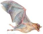 little bat