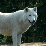 White Wolf Lover Gift Ideas