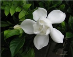 .gardenia.