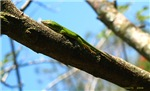 .green anole.