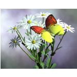 Butterfly on Daisies