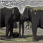Elephant Eyes Woodcut