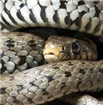 Grass Snake Gifts