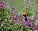 Yellowhead Blackbird and Lilacs