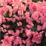 azaleas allover, pink