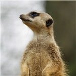 The Scout-cute Meerkat