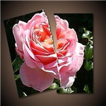 Torn picture of a Rose