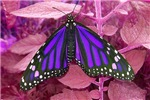 Psychadelic Monarch