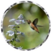 Hummingbird 4851