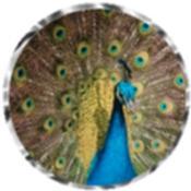 Peacock 6286