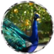 Peacock 5560
