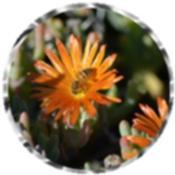 Bee, orange Malephora crocea flowers 1108