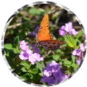 Butterfly, purple Lantana flowers 0968