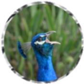 Peacock 1944