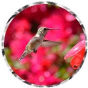 Hummingbird 3229