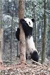 Panda Cub (photo)