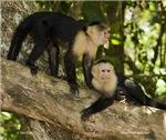 Two capuchins