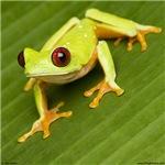 Red-eyed treefrog 2