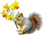 Squirrel Daffodils