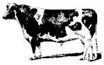 Vintage Holstein Bull Sketch