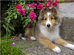 Puppy in the Roses