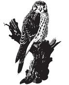 American Kestrel Sketch