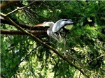 Heron Nesting