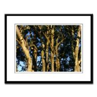 San Francisco Eucalyptus Tree Photographs