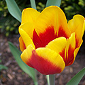 Fire Tulip Photo