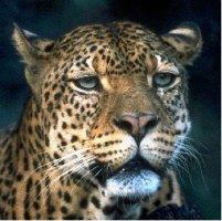 Leopard/Jaguar Merchandise
