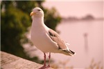 Seagull on Bodega Bay
