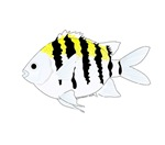 Sergeant Major Damselfish fish