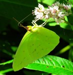 Cloudless Sulfur Butterfly on River Wildflower