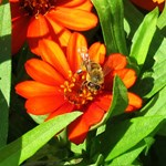 Honey bee Orange Daisy Flower Peek