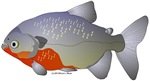 Redbelly Piranha