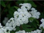 Spyrea Flowers - Gorgeous White