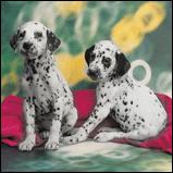 Dalmation puppies