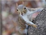 Juvenile Squirrel Up A Tree