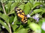 Mariposa Colombiana