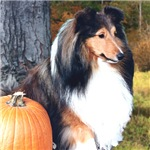 Autumn Sheltie