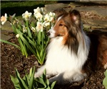 Sheltie Spring