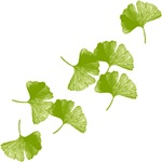 Ginkgo Leaves T-shirts & Gifts