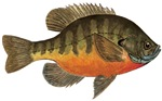 Bluegill, Bream Fishing