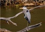 Great Blue Heron# 2
